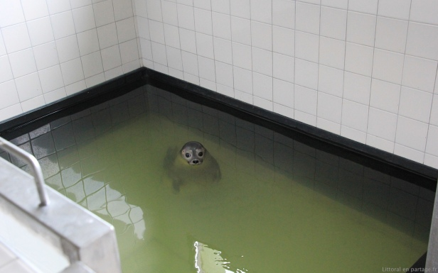 Après quelques jours de remise en forme hors de l'eau (leur faiblesse ne permettant pas encore d'y séjourner parce qu'ils pourraient se noyer), les jeunes phoques accèdent à la piscine chauffée.