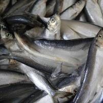 Le nourissage à base de hareng mixé au début, sera donné entierpar la suite. Il faut habituer l'animal à ingérer des poissons déjà morts, ce qui n'est pas dans ses habitudes.